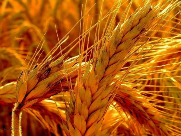 Семена яровой пшеницы Жизель