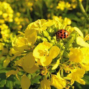 [:ru]Семена ярового рапса Айдар[:ua]Насіння ярого ріпаку Айдар[:]
