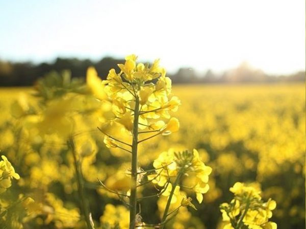 Семена ярового рапса Добробут