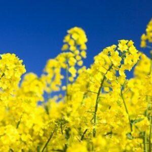 [:ru]Семена озимого рапса Клеопатра[:ua]Насіння озимого ріпаку Клеопатра[:]