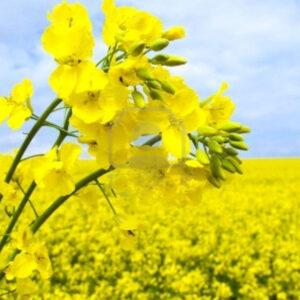[:ru]Семена озимого рапса Соло[:ua]Насіння озимого ріпаку Соло[:]