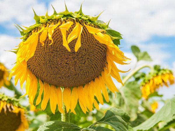 Семена подсолнечника Рейна