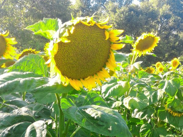 Насіння соняшнику Рімі