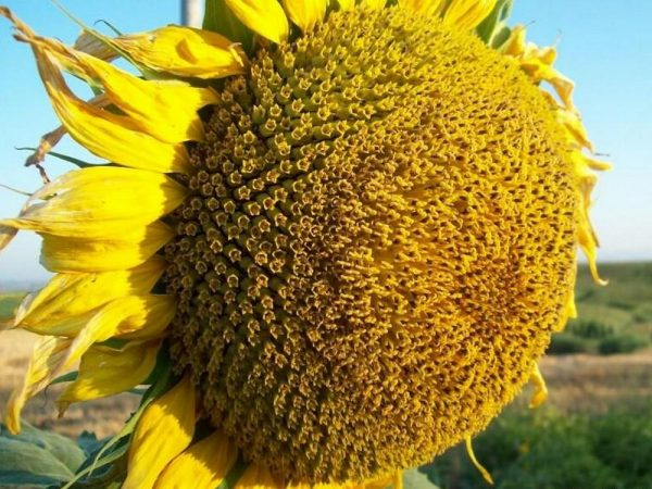 Семена подсолнечника Римисол