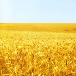 Семена озимой пшеницы Росинка