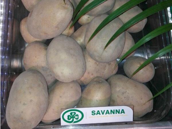 Семенной картофель Саванна (Голландия)