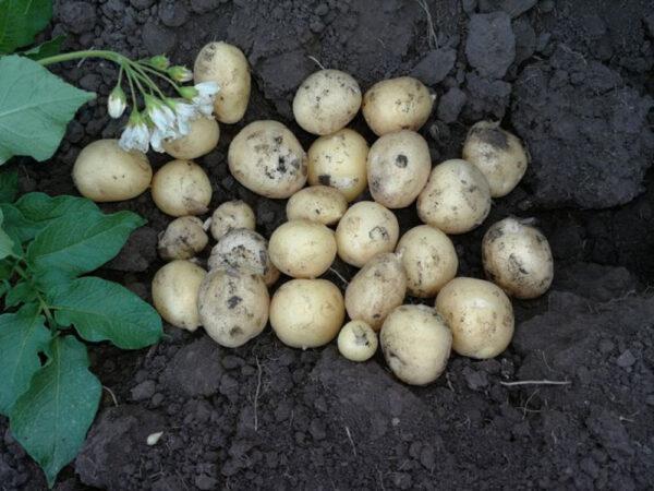 Семенной картофель Саванна