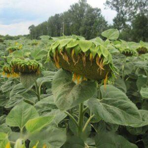 [:ru]Семена подсолнечника Аламо[:ua]Насіння соняшника Аламо[:]