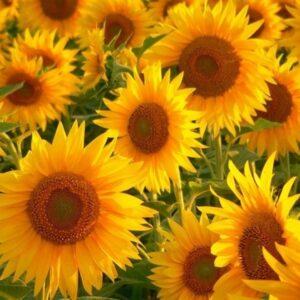 [:ru]Семена подсолнечника Аурис[:ua]Насіння соняшника Ауріс[:]