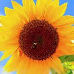 [:ru]Семена подсолнечника НС Константин[:ua]Насіння соняшника НС Константин[:]