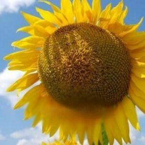 [:ru]Семена подсолнечника СИ Ласкала[:ua]Насіння соняшника СІ Ласкала[:]
