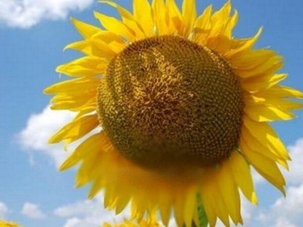 Семена подсолнечника СИ Ласкала