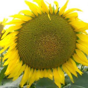 [:ru]Семена подсолнечника Сержан[:ua]Насіння соняшника Сержан[:]