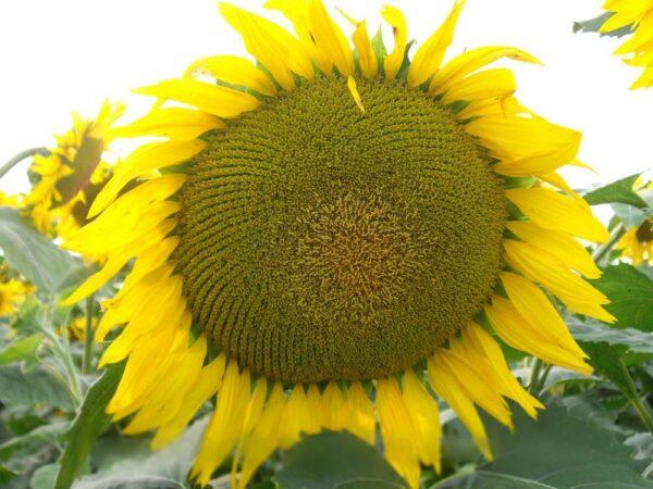 Семена подсолнечника Сержан