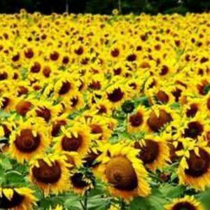 [:ru]Семена подсолнечника Тиса[:ua]Насіння соняшника Тіса[:]