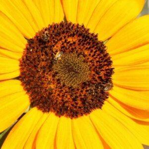 [:ru]Семена подсолнечника Трансол[:ua]Насіння соняшника Трансол[:]