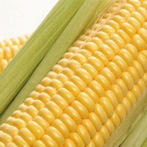 [:ru]Семена кукурузы Симба[:ua]Насіння кукурудзи Симба[:]