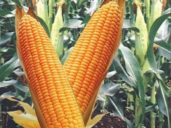 Семена кукурузы Кремень