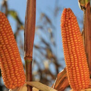 [:ru]Семена кукурузы Роналдинио[:ua]Насіння кукурудзи Роналдініо[:]