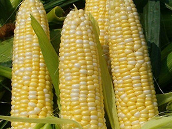 Семена кукурузы Оржица