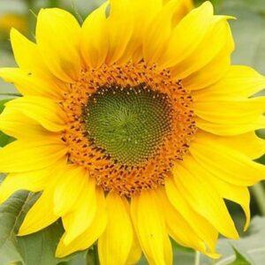 Семена подсолнечника Босфора