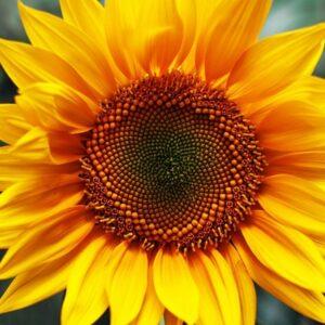 [:ru]Семена подсолнечника Ясон[:ua]Насіння соняшника Ясон[:]