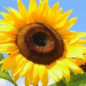 [:ru]Семена подсолнечника ЛГ 5550[:ua]Насіння соняшника ЛГ 5550[:]