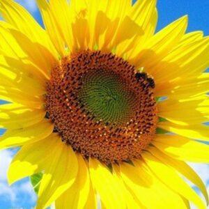 [:ru]Семена подсолнечника НК Делфи[:ua]Насіння соняшника НК Делфі[:]