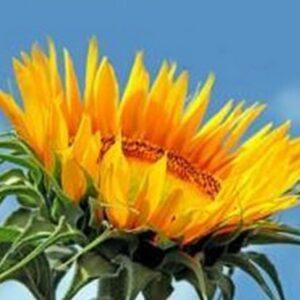 [:ru]Семена подсолнечника НК Конди[:ua]Насіння соняшника НК Конді[:]
