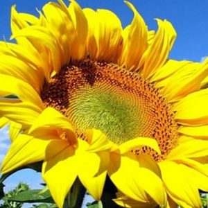 [:ru]Семена подсолнечника НК Неома[:ua]Насіння соняшнику НК Неома[:]
