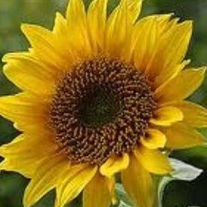 [:ru]Семена подсолнечника НК Роки[:ua]Насіння соняшника  НК Рокі[:]