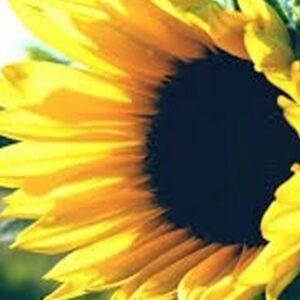 [:ru]Семена подсолнечника Пионер ПР63А86[:ua]Насіння соняшника Піонер ПР63А86[:]