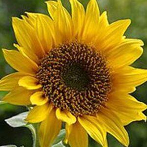 [:ru]Семена подсолнечника ЛГ 5451[:ua]Насіння соняшника ЛГ 5451[:]