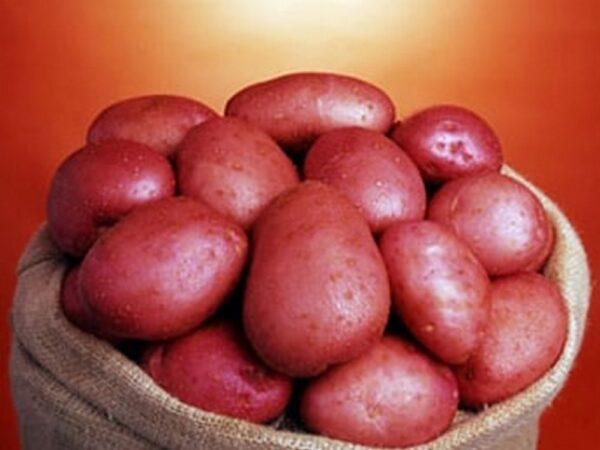 Семенной картофель Сетанта (Голландия)