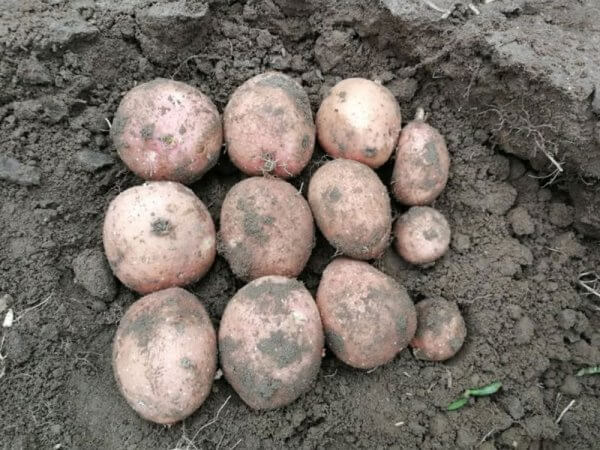 Семенной картофель Сетанта