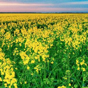 [:ru]Семена рапса Шербрук[:ua]Насіння ріпаку Шербрук[:]