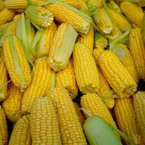 [:ru]Семена кукурузы СИ Респект[:ua]Насіння кукурудзи СІ Респект[:]