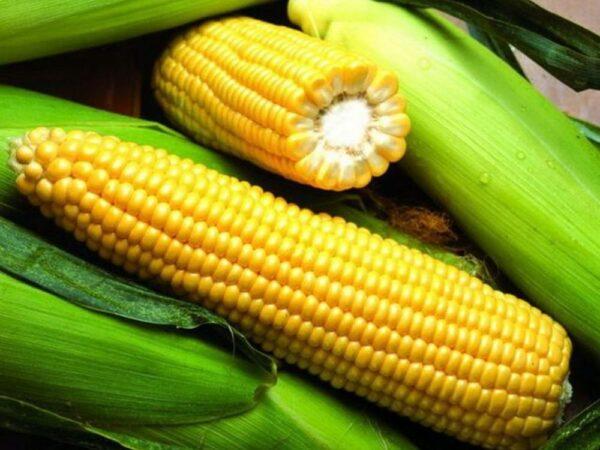 Семена кукурузы ЕС Сигма