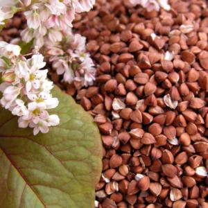 Семена гречихи Слобожанка