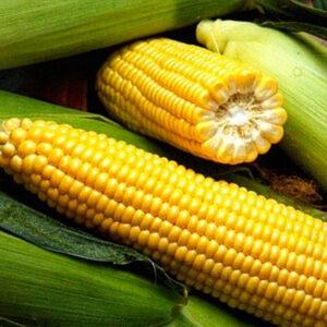 Сахарная кукуруза Спирит