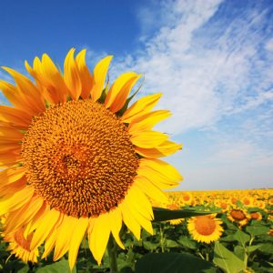 [:ru]Семена подсолнечника ЕС Старбелла[:ua]Насіння соняшника ЕС Старбелла[:]