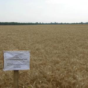Семена яровой пшеницы Струна Мироновская