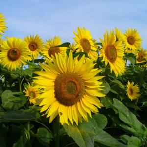 [:ru]Семена подсолнечника Субаро[:ua]Насіння соняшника Субаро[:]