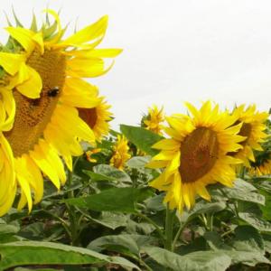 [:ru]Семена подсолнечника Сумико[:ua]Насіння соняшника Суміко[:]
