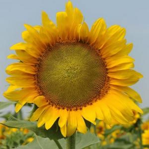 Насіння соняшнику НС Таурус