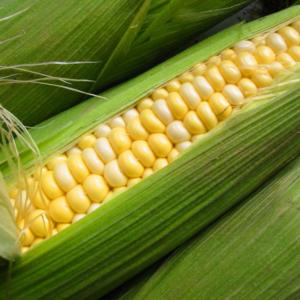 Семена кукурузы Тифенн