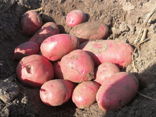 Семенной картофель Торнадо (Элита/импорт)