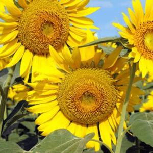 [:ru]Семена подсолнечника ЕС Тундра[:ua]Насіння соняшника ЕС Тундра[:]
