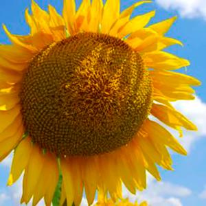 Семена подсолнечника Тутти