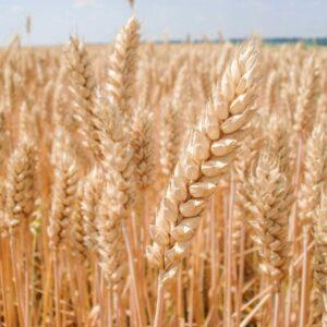 Семена озимой пшеницы Юбиляр Мироновский